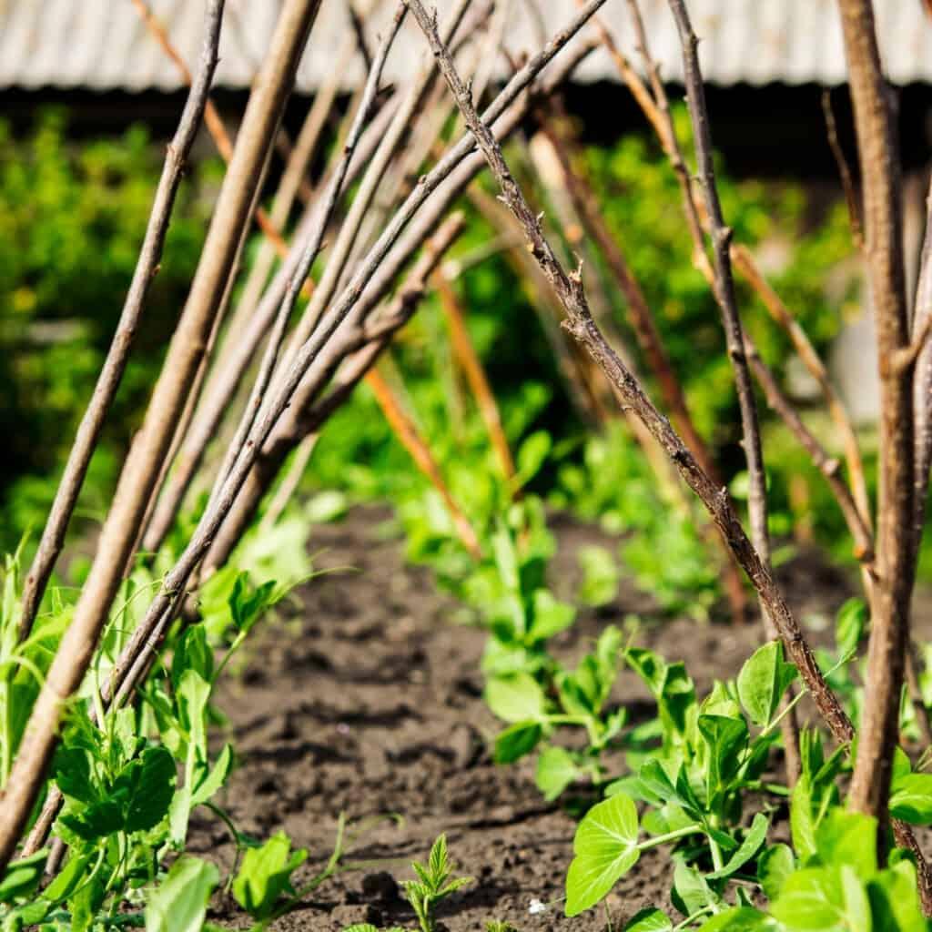 garden peas growing on a trellis