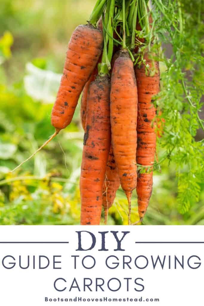 freshly harvested carrots