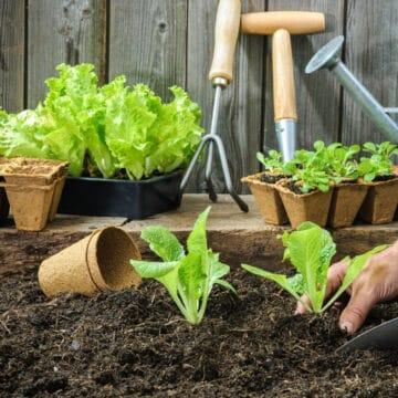 planting lettuce in a garden