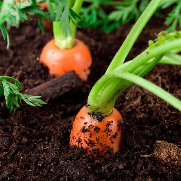 tops of carrots sticking out of soil in the garden