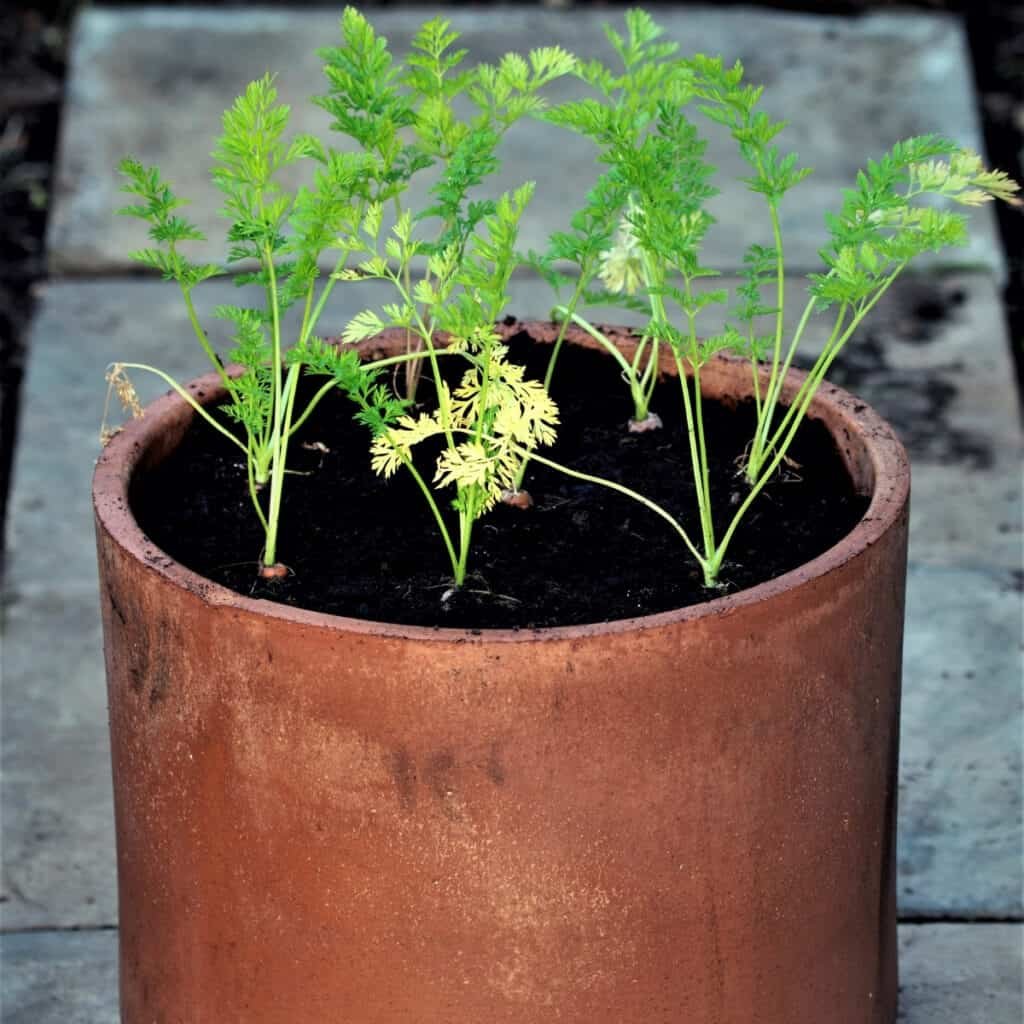 carrots growing in containers