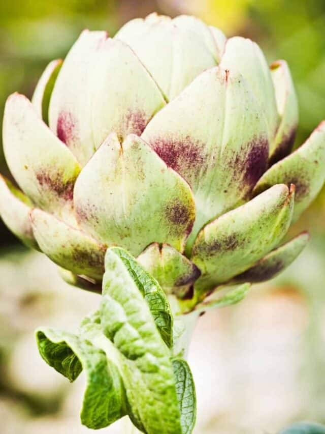 close up image of an artichoke growing in the garden