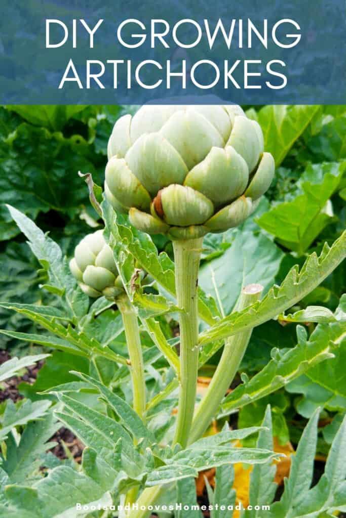 artichoke plant growing in a garden