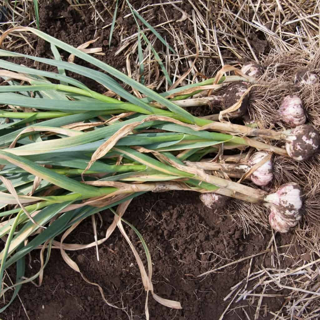 harvesting garlic in the home garden