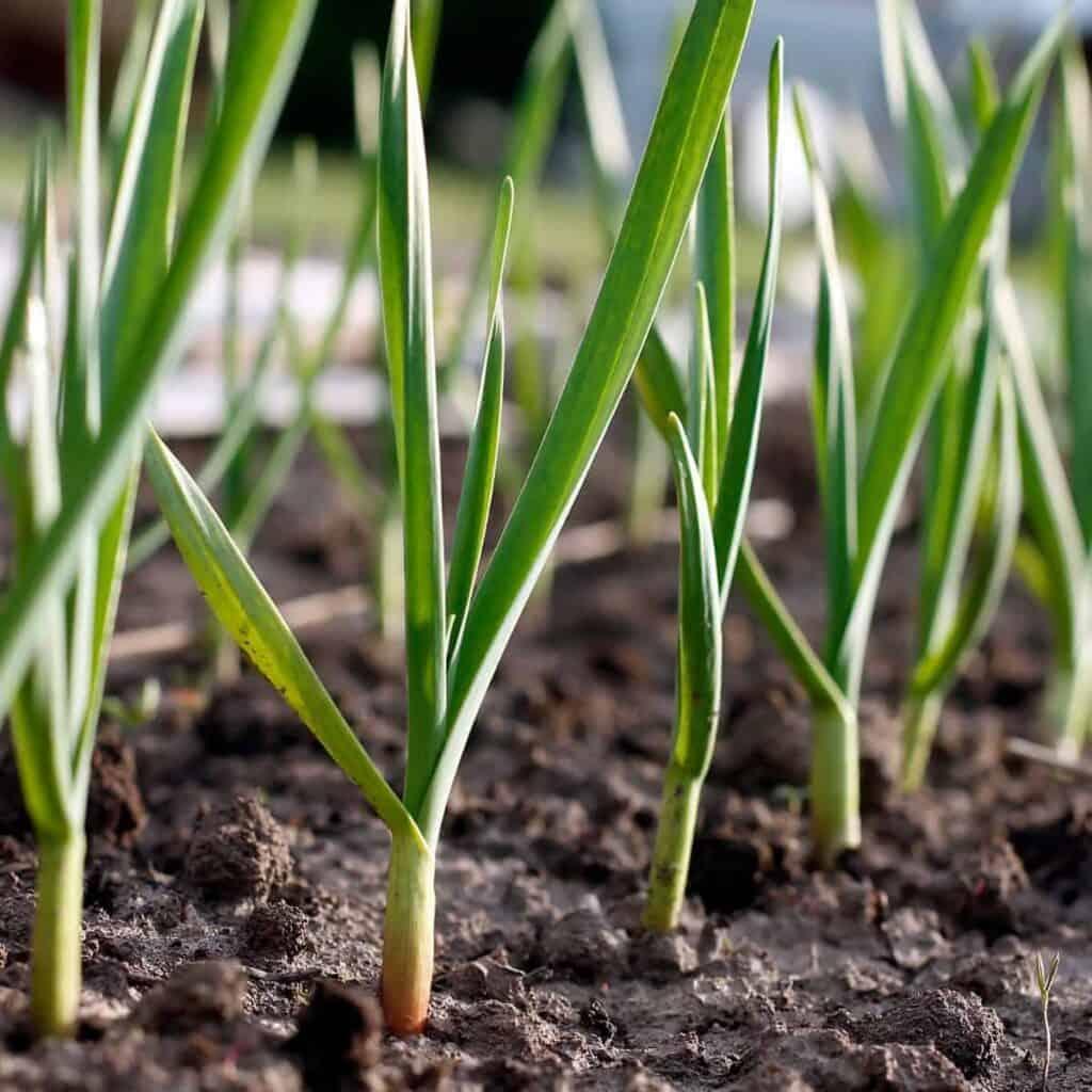 grows of garlic plants in the garden