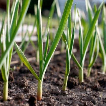 grows of garlic plants in the garden