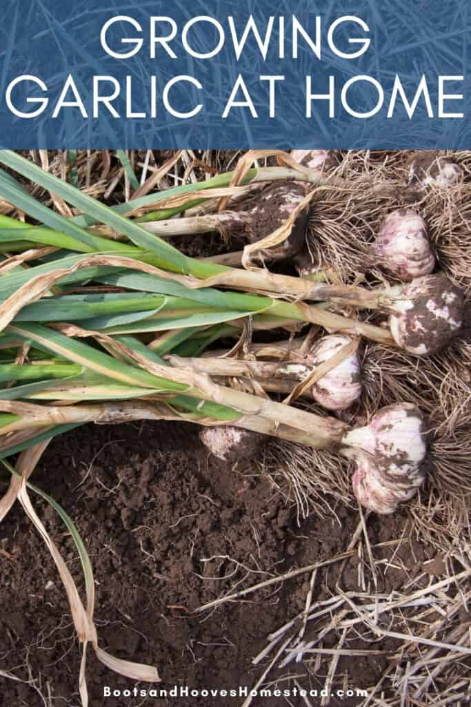 harvesting garlic plants
