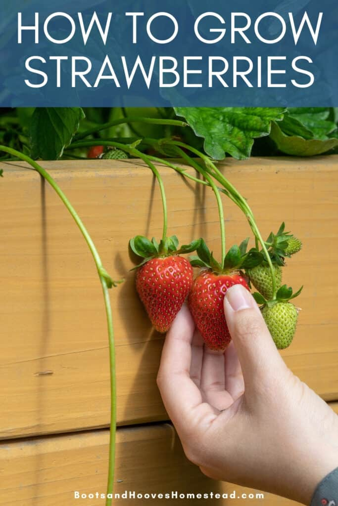 harvesting strawberry plants