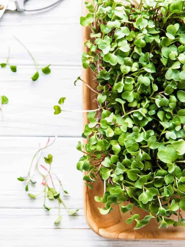harvesting microgreens with kitchen sheers