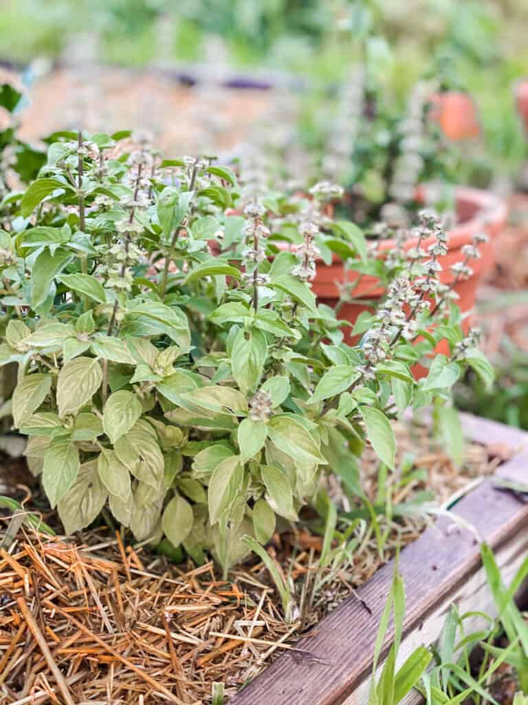 lemon thyme plant in the potager garden