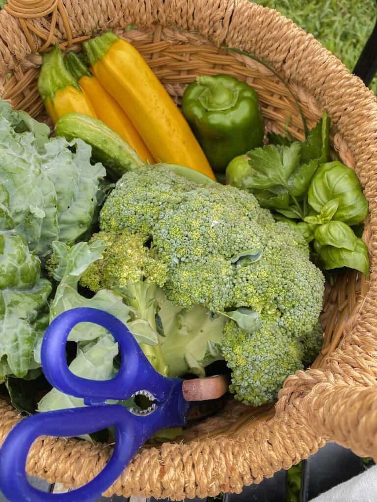garden basket of fresh vegetables in the garden