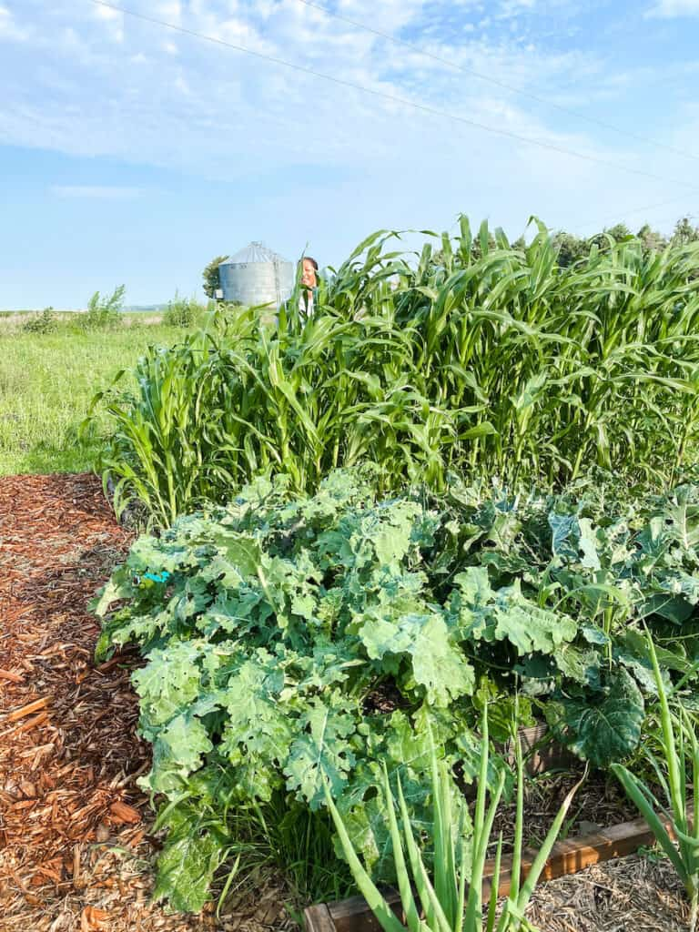 broccoli, onions, and corn in 3 raised beds