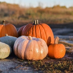 pumpkins harvested and curing outside